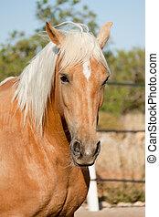 beautiful blond cruzado horse outside horse ranch field -...