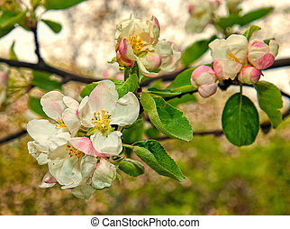Beautiful blooming apple tree