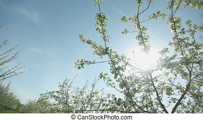 Beautiful blooming apple tree branch in the spring garden on a sunny sunny day.