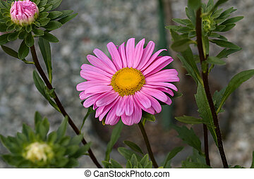 Beautiful blooming asters of pink flowers. Autumn garden