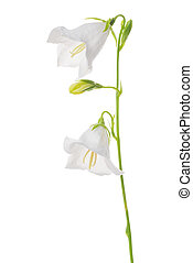 beautiful blooming bell flower isolated on white background, close up