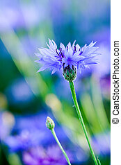 blooming blue cornflower in the garden on a blurred background