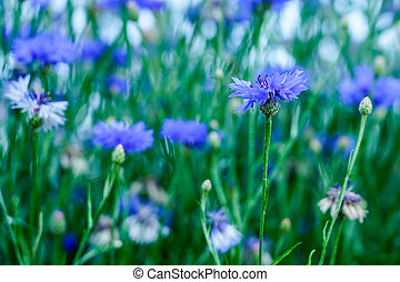 blooming blue cornflowers in the garden on a blurred background