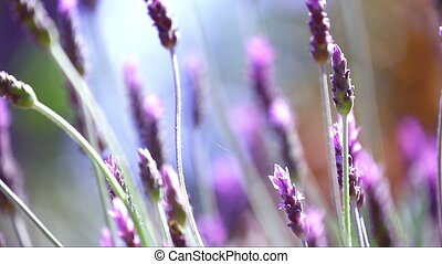 Beautiful Blooming Lavender Flowers Swaying In The Wind