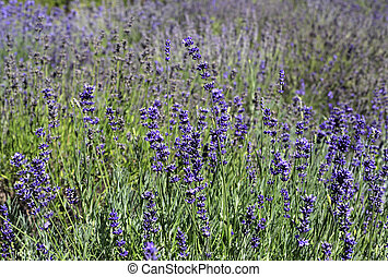 Beautiful blooming lavender in sunny summer garden