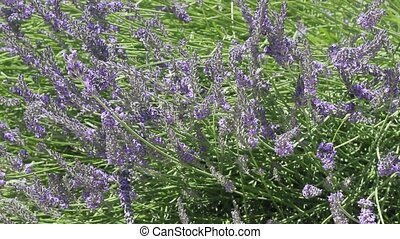 Beautiful Blooming Lavender with sunlight