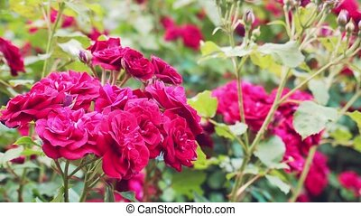 beautiful blooming living roses in a summer garden - ...