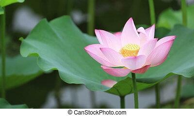 beautiful blooming lotus flower in pond