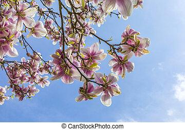 blooming magnolia tree under blue sky