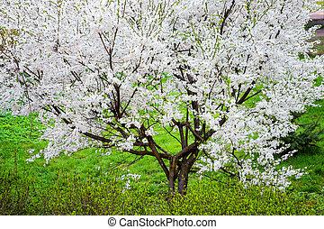 Beautiful blooming of spring tree