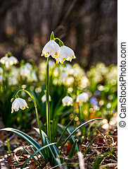 Beautiful blooming of White spring Snowflake - Beautiful...