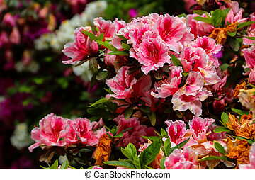 Beautiful blooming pink rhododendron in the garden