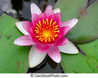 Beautiful blooming pink water lily Lotus Flower