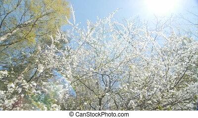 Beautiful blooming plum tree against blue sky .