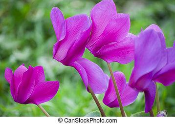 cyclamen flower - Beautiful blooming purple cyclamen flower