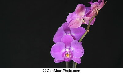 Beautiful blooming purple orchid flower on stylish black background.