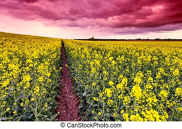 Cloudy sky over yellow napus field