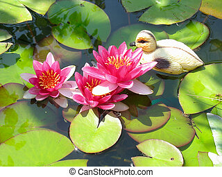 Beautiful blooming red water lily lotus flower with green leaves in the pond