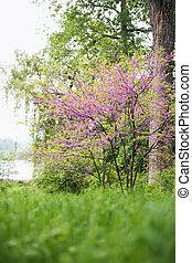 beautiful Blooming Redbud Tree