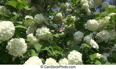 beautiful blooming viburnum bush - beautiful blooming...