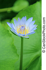 Beautiful blooming water lily, close - up view