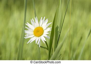 white daisy flower in the field