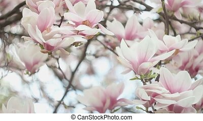 Beautiful Blossom Tree of Magnolia With Pink Flowers in the...