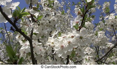 beautiful blossoming apple tree