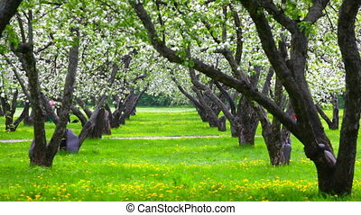 Beautiful blossoming apple-tree garden in a sunny weather