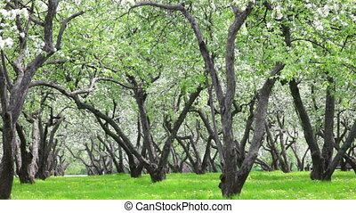beautiful blossoming apple-tree garden in sunny spring day