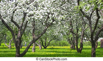 Beautiful blossoming apple-tree garden