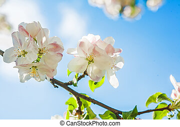 beautiful blossoming flowers of apple tree on background sky