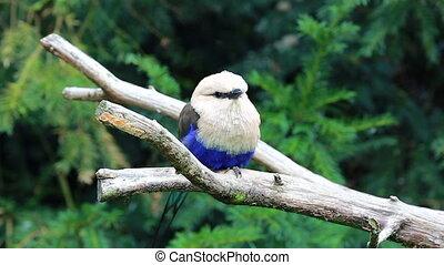 Beautiful Blue-Bellied Roller