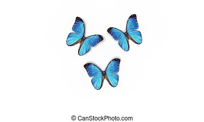 Beautiful Blue Colored Butterflies Morpho Menelaus Fly Close-up into the Frame from Behind Camera, Sit Down, Fly Away. White Green Backgrounds. Loop-able 3d Animation Alpha. 4k Ultra HD 3840x2160