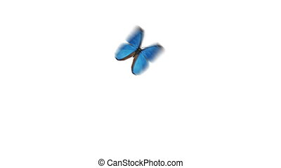 Beautiful Blue Colored Butterfly Morpho Menelaus Flying and Sitting on White and Green Backgrounds Close-up. Loop-able 3d Animation with Green Screen Alpha Channel. 4k Ultra HD 3840x2160