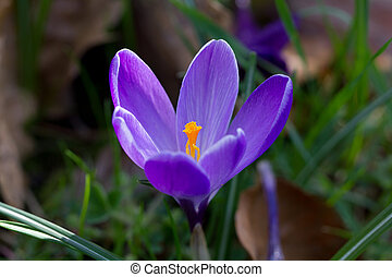Beautiful blue crocus