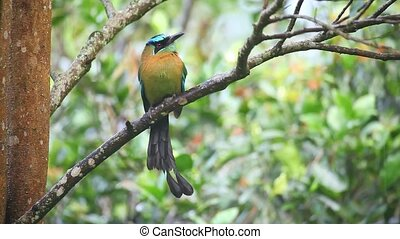 Beautiful Blue-crowned Motmot perch
