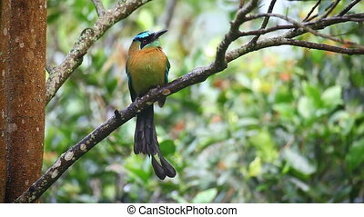 Beautiful Blue-crowned Motmot perched in a tree