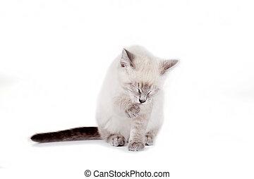 Beautiful blue eye Siamese kitten, isolated on white