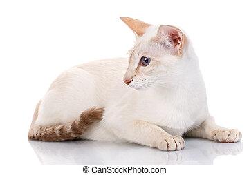 blue eye Siamese kitten, isolated on white