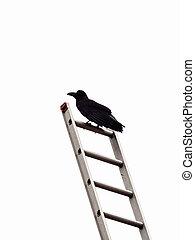 Beautiful blue-eyed crow on metallic stairs