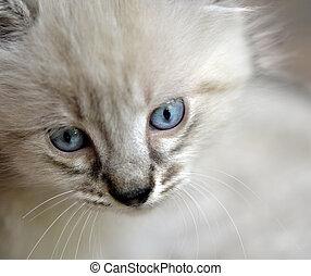A mixed Siamese, Balinese kitten face closeup.