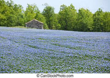 beautiful blue flax field landscape at spring, shallow depth of field