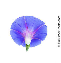 Beautiful blue flower on a white background
