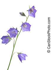 Beautiful blue flowers campanula isolated on white