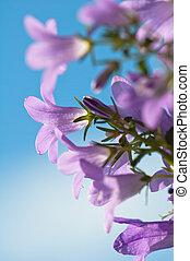 flowers campanula on a background of the blue sky - ...