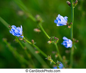 blue flowers of the chicory