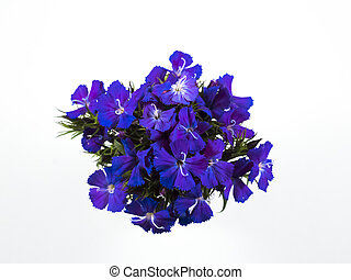 Beautiful blue flowers on white background.