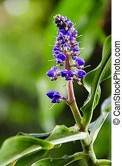 Beautiful Blue Ginger Flower in Blo