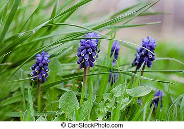 Beautiful blue hyacinth flowers